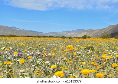 Desert Sunflowers stand out among colorful desert wildflowers during springtime at Anza Borego, California.