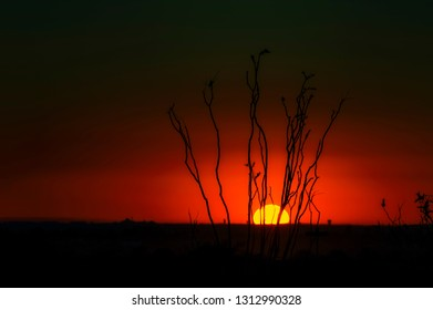 Desert sunset in smoky skies silhouettes a ocotillo plant