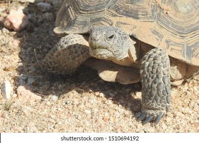 Desert Tortoise, Mojave Desert, California.