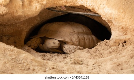 The desert tortoises (Gopherus agassizii and Gopherus morafkai), also known as desert turtles, are two species of tortoise. desert tortoise also known as desert turtle