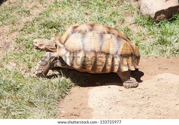 Desert tortoises are species of tortoise native to the Mojave desert and Sonoran desert of the southwestern United States