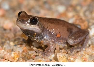 Desert tree frog (Litoria rubella). Atherton, Queensland, Australia.