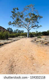 desert tree in outback australia near Alice springs Macdonnell ranges thought to be over 400 years old