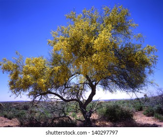 Desert trees, ironwood and paloverde, are the last to bring their colors to the desert in spring/paloverde/ The bright yellow blooms of the state tree for arizona, the paloverde, is beautiful to see.