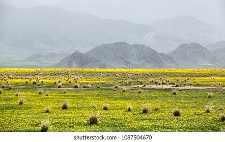 Desert valley with small yellow flowers against the background of mountain range covered with fog in Almaty region, Kazakhstan
