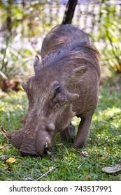 Desert  Warthog,Phacochoerus aethiopicus, in Hwange National Park, Zimbabwe