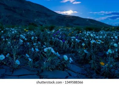 Desert Wildflowers Superbloom in Moonlight at Moonrise