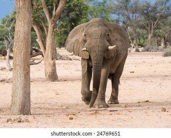 Desert-adapted elephant (loxodonta africana) charging forward, Namibia