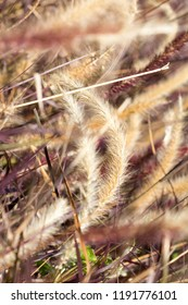 Desho grass, Pennisetum pedicellatum, vintage style, decoration