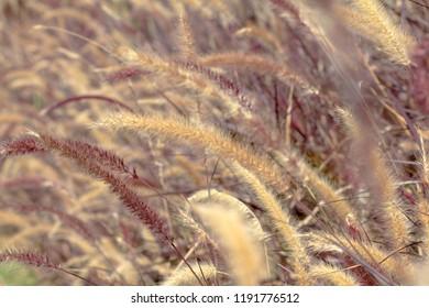 Desho grass, Pennisetum pedicellatum, vintage style, decoration wedding day
