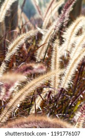 Desho grass or we call grass ,Pennisetum