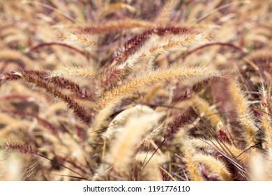 Desho grass or we call grass ,Pennisetum pedicellatum