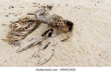 Desiccated grey seal pup (Halichoerus grypus) carcase on a sandy beach in Norfolk, England. Visible tail flippers, and exposed skeletal remains. Partial pelt, natural setting. Landscape image.