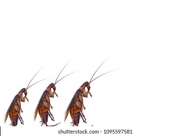 Design of Cockroaches walk on isolated white background.Chemical treatment and protection against termite, cockroach, flea, agricultural pests.Pest control concept.Cockroaches carry diseases to human.