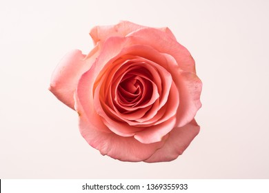 Design concept - top and close up view of one pink rose for mother, wedding and valentine day mockup