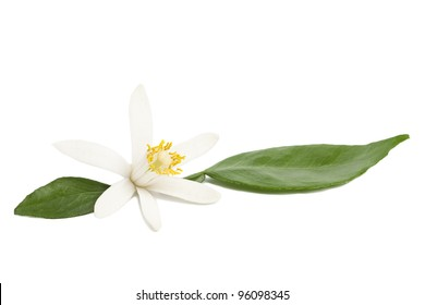 Design element on white. Tropical lemon flower blossom with green leaves on white background