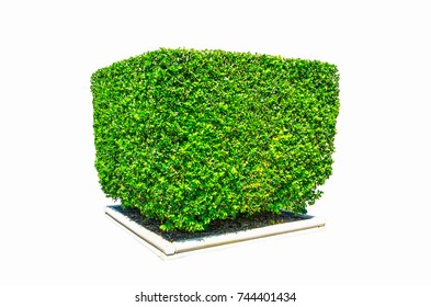Design hedges cut green tree in square shape isolated on white background.