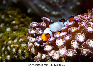 Designer clownfish playing with Goniopora coral