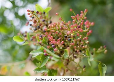 Mastic Tree Images, Stock Photos & Vectors | Shutterstock