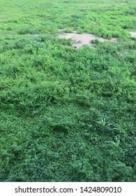 Desolate grass in thailand pathum tani