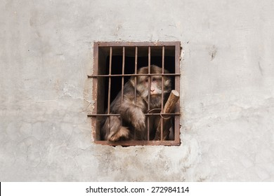 Despairing monkey being trapped in a cage