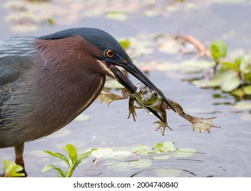 A desperate frog spread its paws in the beak of a black-headed marsh heron close-up