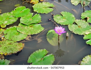 Despite the beautiful lotus flower in water that is not clean.