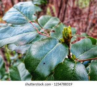 Despite the bitterly cold nights in the woods, a Mahonia aquifolium, or Oregon Grape plant, pushes up a new budding raceme of flowers