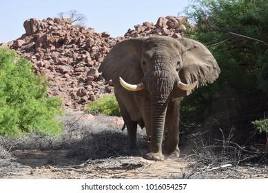 Dessert Elephant bull approaching in Damaraland, Namibia, Africa