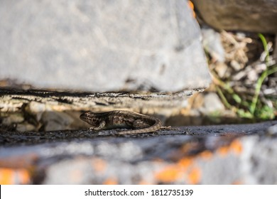 dessert lizard hiding in a rock crack