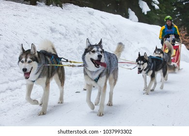 Destne, Czech Republic - Jeanuary 28, 2017: Sedivackuv long racing, the biest Sled dog racing in central Europe. Musher dogteam driver and Siberian husky at snow winter competition race in forest