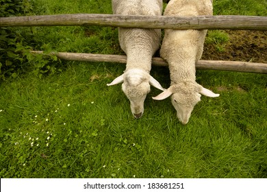 detai two sheep stretching across the corral fence on green grass with neighbors