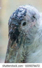 Detail of African Marabou Head.