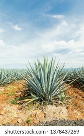 Detail of agave in Tequila, guadalajara landscape. beautiful view