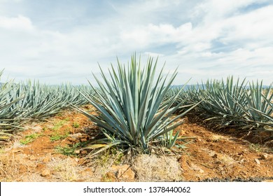 Detail of agave in Tequila, Guadalajara landscape. beautiful view