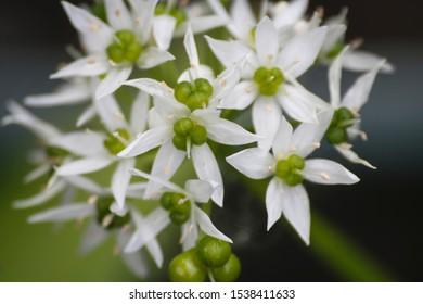 Detail of allium ursinum flowers