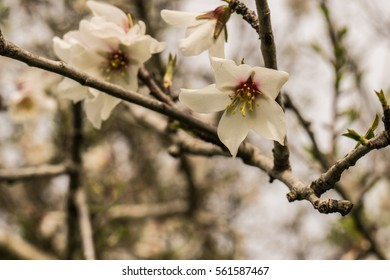 Detail of Almond Flowers