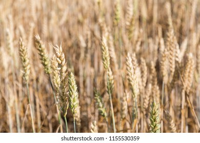 Detail from an almost matured wheat field