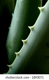 Detail of Aloe vera plant