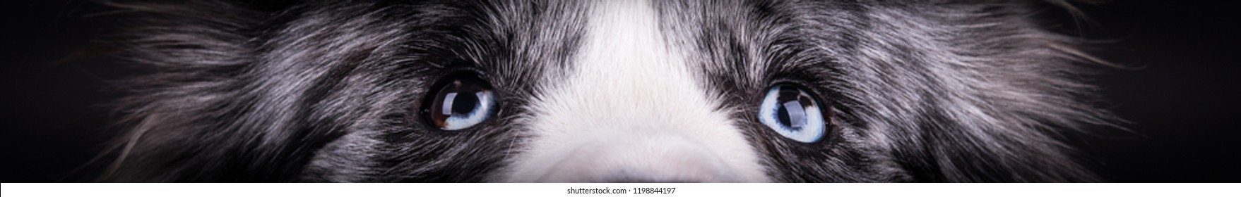 detail of amazing healthy and happy adult blue merle border collie eyes in the photo studio on the black background
