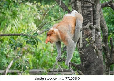 Detail of an angry Proboscis Monkey from Labuk Bay Proboscis Monkey Sanctuary, Sandakan, Sabah - Borneo. Malaysia