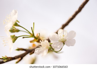 Detail of apple blossoms in the early spring.