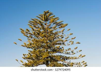 Detail an araucaria in Galicia (Spain)