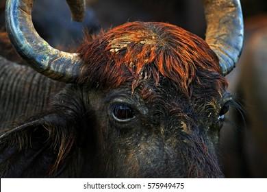 Detail of Asian water buffalo, Bubalus bubalis, in brown water pond. Wildlife scene, summer day with river. Big animal in the nature habitat. Bull swimming in lake. Water buffalo in Yala, Sri Lanka
