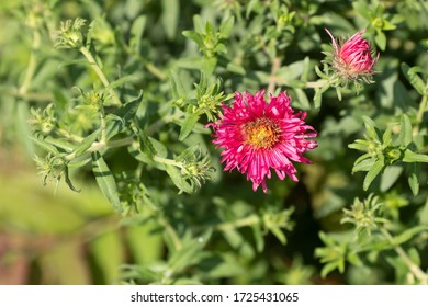 Detail of Aster Novae-Angliae (New England) Alma Pötschke red flower at sunset in a green garden