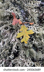 Detail of autumn leaves and lichen on the bark of an oak