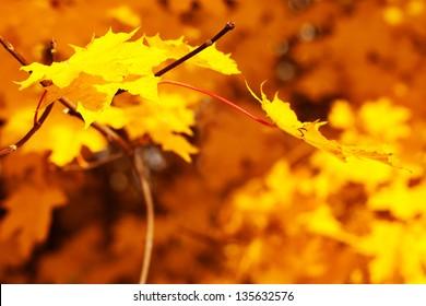 detail of an autumn maple leaf