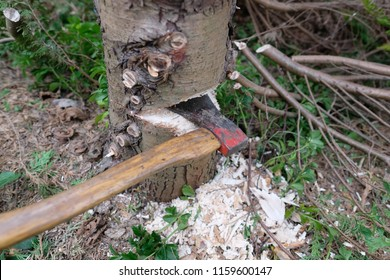 Detail from an ax in a case notch while felling a tree