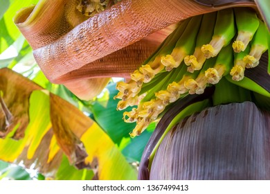 Detail of a banana flower in a plantation in the area of Arucas