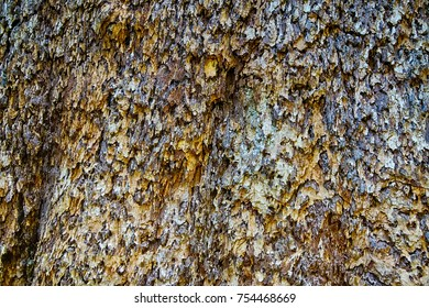 Detail of bark on huge  tree   in the Grove of the patriarchs, Ohanapecosh, Mount Rainier National Park, Washington